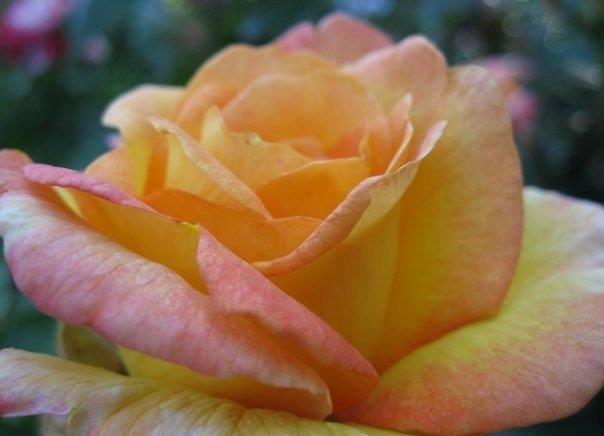 sorbet rose